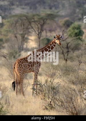 Netzartige Giraffe in Samburu National Reserve - Stockfoto