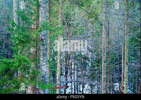 Hintergrund mit verdrehten Ästen in einen Winterwald - Stockfoto