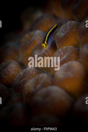 Yellownose Grundel (Gobiosoma Randalli) auf Buddys Riff, Bonaire, Niederländische Antillen - Stockfoto