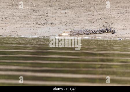 Salzwasser-Krokodil (Crocodylus Porosus) auf einem Fluss umgeben von Fiddler nörgelt - Stockfoto