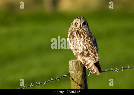 Short-eared Eule (Asio Flammeus); Orkney Schottland, Vereinigtes Königreich - Stockfoto