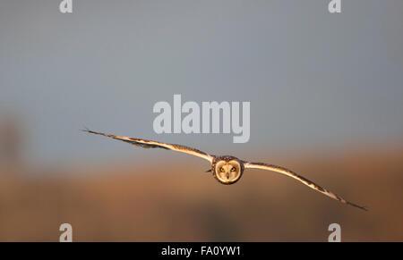 Sumpfohreule, Asio Flammeus, - Stockfoto