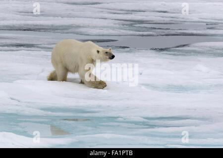 Eisbär auf Packeis, Spitzbergen, Norwegen / EuropeUrsus Maritimus - Stockfoto