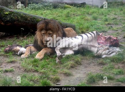 Ein männlicher Löwe liegt neben einem Toten Zebra im Zoo in Duisburg ...