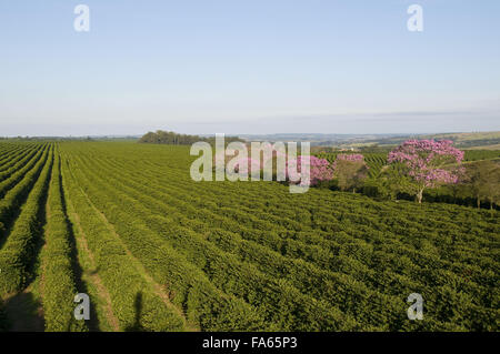 Kaffeeplantage mit Ipe-violett - Tabebuia sp - Stockfoto