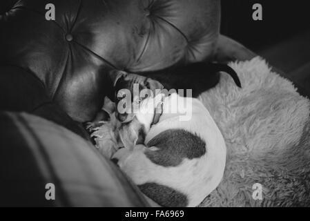 Zwei Jack Russell Hunde zu Hause - Stockfoto