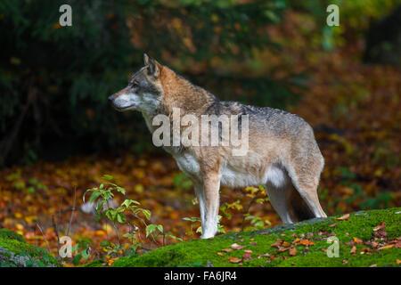 Europäische graue Wolf (Canis Lupus) im herbstlichen Wald - Stockfoto