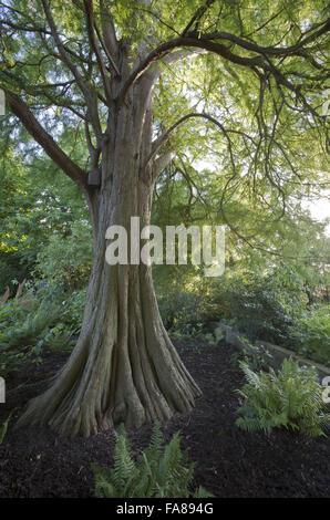 Baum und Farne neben Lily Pond im The Courts Garden, Wiltshire, im August. - Stockfoto