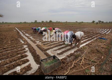 Zwiebel-Bauern in Burkina Faso Sourou Provinz, Transplantation Sämlinge aus dem Kinderzimmer-Bett und ins Feld. - Stockfoto