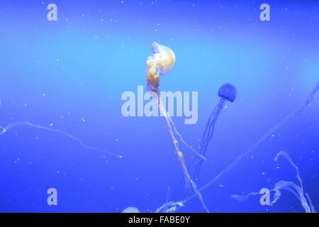 Qualle mit Ranken auf blauem Hintergrund im Aquariumbehälter schwimmen