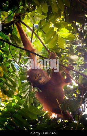Wilde juvenile Orangutan hängen Äste im Nationalpark Kutai, Indonesien. - Stockfoto