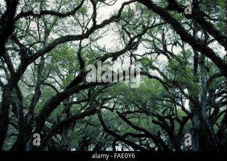 Die verdrehten Silhouetten der Gliedmaßen und Zweige der Bäume moosbewachsenen Eichen in Louisiana evozieren eine - Stockfoto