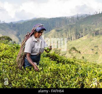 Tamilische Frau nimmt Tee in einer Teeplantage in der Nähe von Hatton in der Zentralprovinz Sri Lankas - Stockfoto