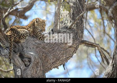 Leopard (panthera pardus) Cub in Baum im Moremi NP (khwai), Botswana - Stockfoto