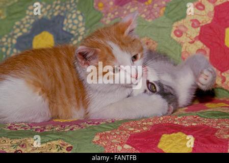 Zwei Kätzchen spielen auf Home gemacht quilt, Maine, USA - Stockfoto