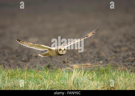 Sumpfohreule (Asio Flammeus) Jagd während der Dämmerung im Winter über ein Feld. - Stockfoto