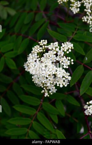 Sorbus X kewensis Syn Pohuashanensis weiße Blumen Flowerhead ...