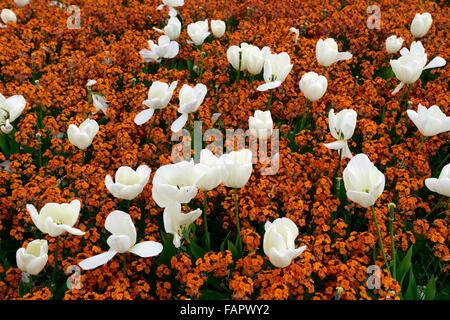 Tulipa Fosteriana Purissima Wegrauke Cheiri orange Bedder weiße ...