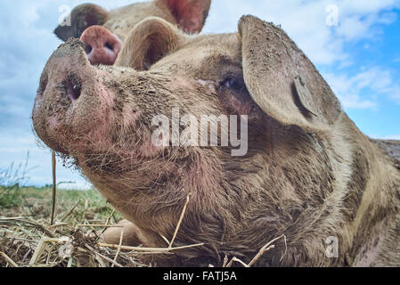 Nahaufnahme Kopfschuss Freilandhaltung Bio Schweine in einem Feld - Stockfoto