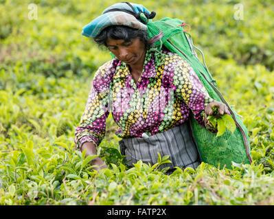 Tamilische Frau holt Tee am Teeplantage in der Nähe von Hatton, Sri Lanka - Stockfoto