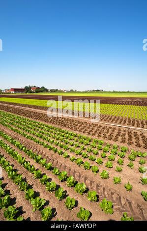 """Salat, Anbau in """"Knoblauch""""Land, Gemüseanbau, Bereich in Höfles in der Nähe von Nürnberg, Middle Franconia, Bayern, - Stockfoto"""