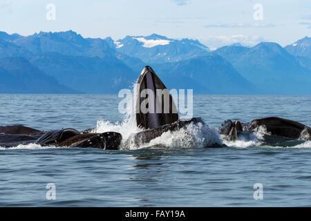 Buckelwale Longe ernähren sich in Lynn Canal Hering mit Chilkat Bergen im Hintergrund, Inside Passage, Südost-Alaska - Stockfoto