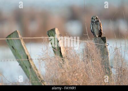 Sumpfohreule / Sumpfohreule (Asio Flammeus) im Winter, thront auf einem alten Zaun-Pol. - Stockfoto