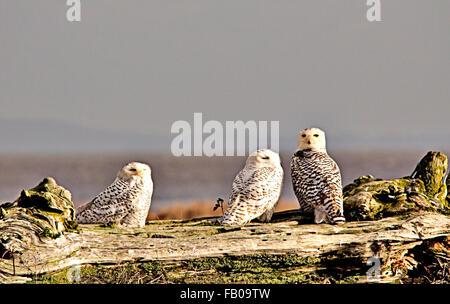 Drei weibliche Schnee-Eulen - Stockfoto