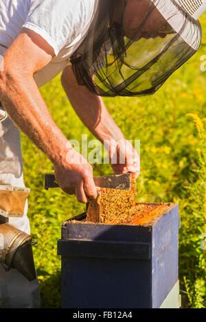 Imker im Schutzanzug mit Bienenwachs Wabenrahmen - Stockfoto