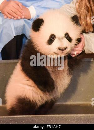 "Washington, DC, USA. 7. Januar 2016. 4-Monate-alten Panda ""Bei Bei"" US National Zoological Park trifft Medien nach - Stockfoto"