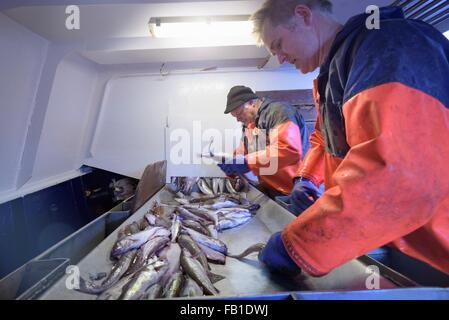 Fischer Fisch auf Trawler sortieren - Stockfoto