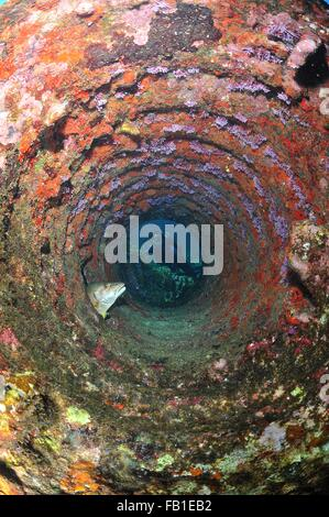 Tauchen durch Rohr in Trümmern am ruhenden Snapper Fisch, Chinchorro Atoll, Quintana Roo, Mexiko - Stockfoto