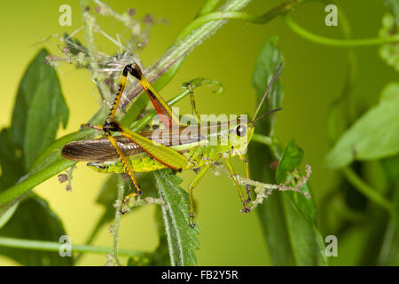 Großen Marsh Grasshopper, Sumpfschrecke, Sumpf-Schrecke, Stethophyma Grossum, Mecostethus Grossus, le Criquet blutbefleckter - Stockfoto