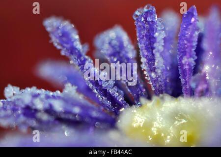 Kristalle von Winterfrost auf einer tiefblauen Aster Blüte mit einem reichen roten Hintergrund. - Stockfoto