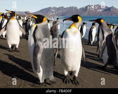 Südatlantik, Südgeorgien, Bucht der Inseln, king Pinguine am Strand von Salisbury Plain - Stockfoto