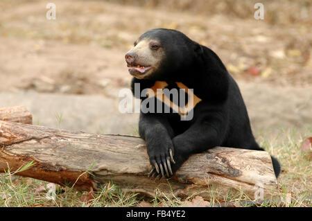 malayischen Sanbear der kleinste Bär der Welt - Stockfoto