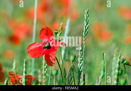 Mohnblumen in Blüte, Poppy Field - Stockfoto