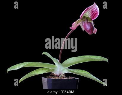 Hybrid Orchideen, Paphiopedilum Hsinying X Paph. Callosum - Stockfoto
