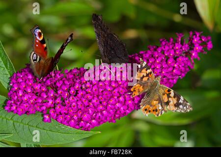 Europäische Pfauen (Aglais Io) und Komma (Polygonia c-Album) auf Sommer Flieder (Buddleja Davidii) - Stockfoto