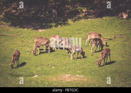 Ein Sommer-Blick auf eine Herde Damhirsche (Dama Dama) auf der grünen Wiese. Diese Säugetiere gehören zu der Familie - Stockfoto