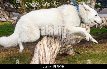 Weiße Schäferhund scheint zu Lächeln, als sie springt - Stockfoto