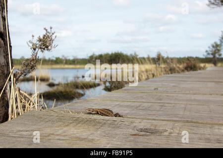 Gemeinen Eidechse (Zootoca Vivipara) unter einer Heide Promenade herausrutschen.
