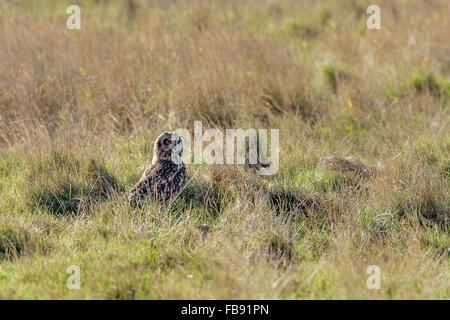 Sumpfohreule (Asio Flammeus) ruht das lange Gras auf einer Wiese. - Stockfoto