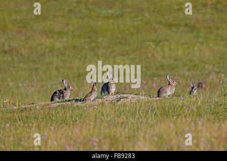 Europäische Kaninchen / gemeinsame Kaninchen (Oryctolagus Cuniculus) Gruppe mit Jugendlichen vor Fuchsbau Eingang - Stockfoto