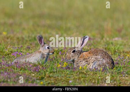 Europäische Kaninchen / gemeinsame Kaninchen (Oryctolagus Cuniculus) Erwachsener mit Jugendlichen in Wiese - Stockfoto