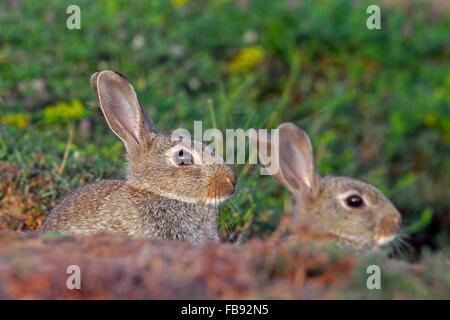Zwei junge europäische Kaninchen / gemeinsame Kaninchen (Oryctolagus Cuniculus) auf Wiese im Sommer - Stockfoto