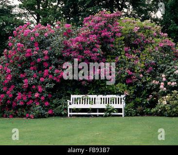 Weiße Holzbank Gegen Eine Große Rosa Rhododendron In Einem  Landschaftsgarten Im Frühling   Stockfoto