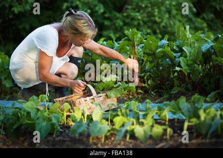 Schweden, Ostergotland, Reife Frau Ernte Gemüse - Stockfoto
