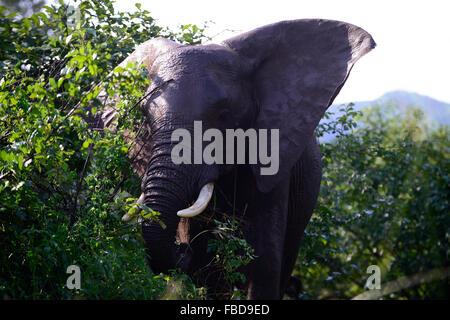 Sambia Chiawa, jungen Elefantenbullen im Spiel Reserve Bereich des unteren Sambesi Nationalpark - Stockfoto