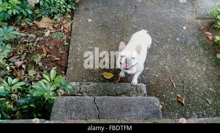 High Angle View Porträt der weiße französische Bulldogge im Park - Stockfoto